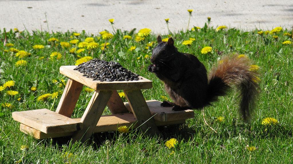 Squirrel at mini-park bench feeder